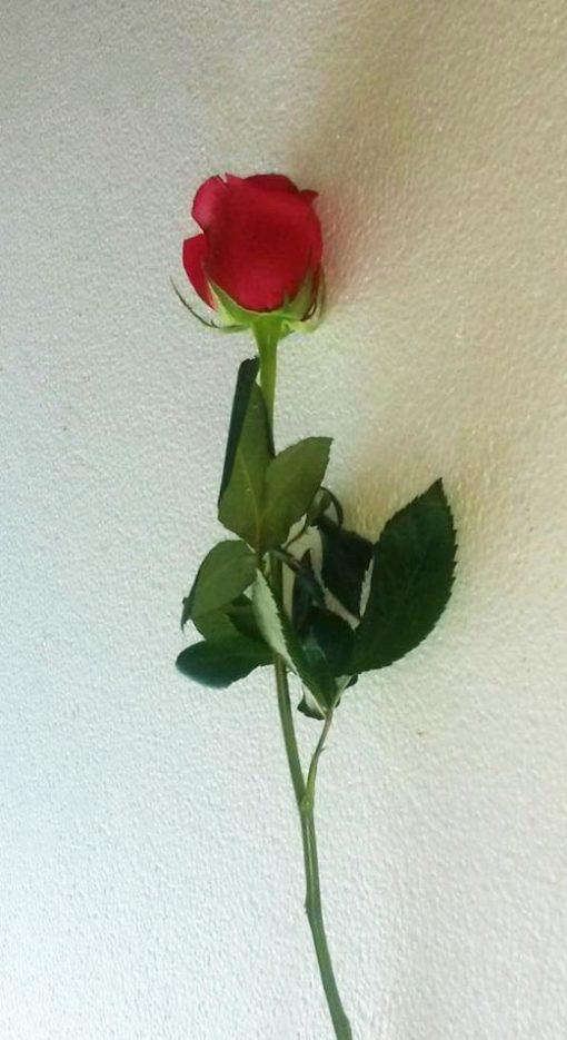 Rosa - Flores, Florería, Floristería
