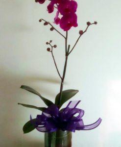 Orquídea Maceta - Flores, Florería, Floristería