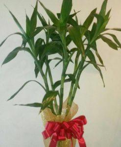Planta de Bambú en Jarrón - Flores, Florería, Floristería